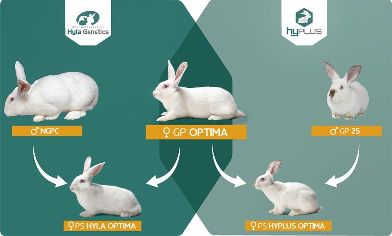 Schéma des lignées génétiques des lapins Hyla et Hyplus