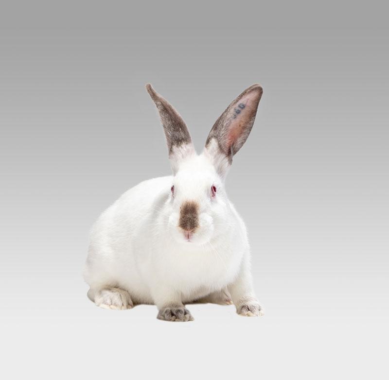 lapin reproducteur blanc de face sur fond gris