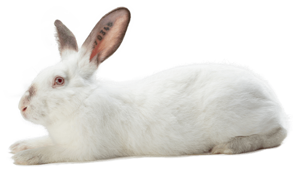 lapin reproducteur mâle GP 25