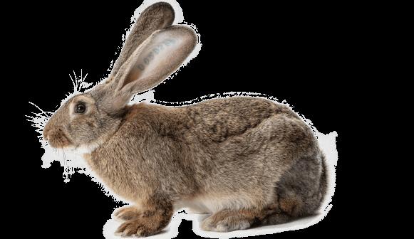 reproducteurs lapins mâles PS 119