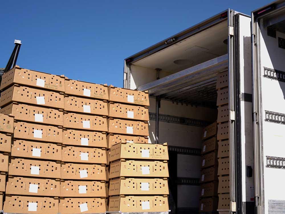 Des lapins dans des box en cartons s'apprêtent à être chargés dans un camion isolé