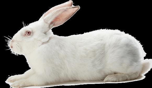 Lignée mâles génétique lapin